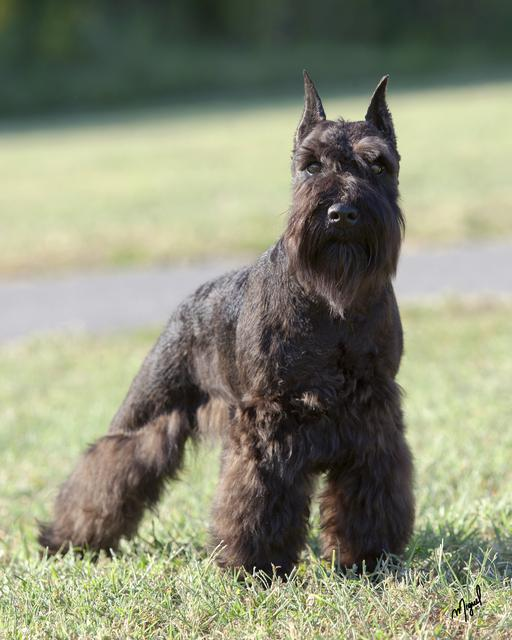 Black miniature schnauzer review